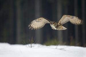 Eurasian Eagle Owl (Bubo Bubo) Flying Low over Snow Covered Grouns with Trees in Background by Ben Hall