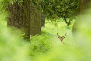Fallow Deer (Dama Dama) Amongst Bracken in Oak Woodland, Cheshire, UK by Ben Hall