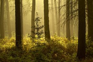 Forest Interior at Dawn, the National Forest, Midlands, UK, Spring 2011 by Ben Hall
