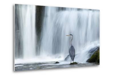 Grey Heron (Ardea Cinerea) Beneath Waterfall. Ambleside, Lake District, UK, November