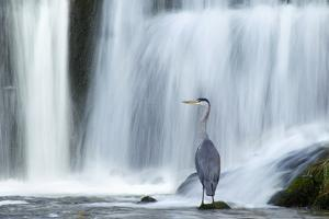 Grey Heron (Ardea Cinerea) Beneath Waterfall. Ambleside, Lake District, UK, November by Ben Hall