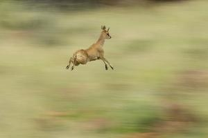 Klipspringer (Oreotragus Oreotragus) in Mid Leap, Karoo, South Africa, February by Ben Hall