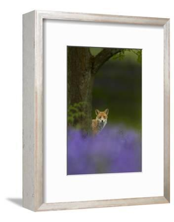 Red Fox (Vulpes Vulpes) Peering from Behind Tree with Bluebells in Foreground, Cheshire, June