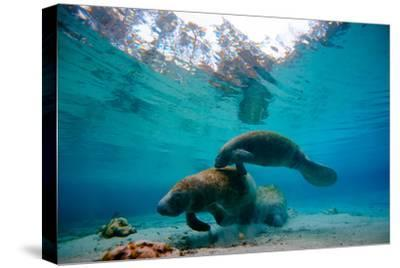 A Pair of Manatees Swim Together at Three Sisters Springs