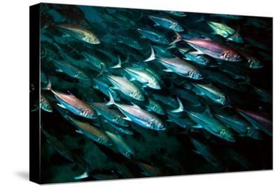 A School of Mackerel