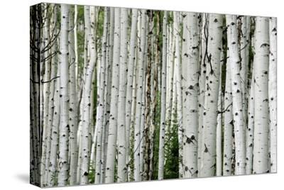 An Aspen Grove in the Colorado Mountains