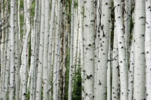 An Aspen Grove in the Colorado Mountains by Ben Horton