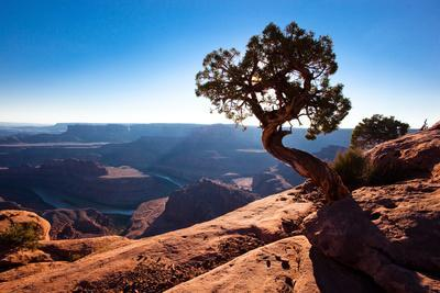 Moab, Dead Horse Point, Utah: A Lone Juniper Tree Overlooking the Colorado River, Dead Horse Point