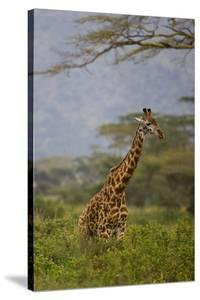 Ngorongoro Crater, Tanzania, Africa: A Giraffe under an Acacia Tree in Ngorongoro Crater by Ben Horton