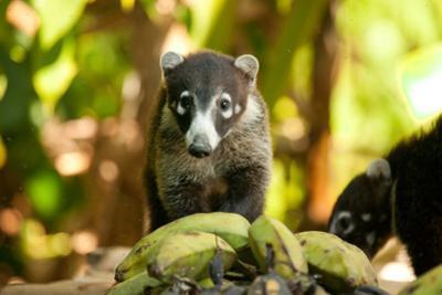 Osa, Costa Rica: A Cotamundi Eating Fallen Bananas in Corcovado National Park by Ben Horton