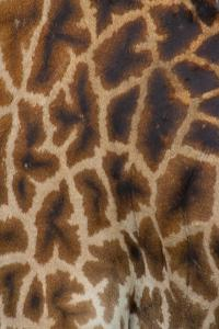Tanzania, Africa: Patterns from the Hide of a Giraffe by Ben Horton