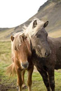 Horses, South Iceland, Polar Regions by Ben Pipe