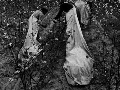 Young African American Cotton Pickers Standing in the Cotton Field with their Sacks by Ben Shahn