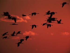 Common Crane, Flock Flying, Silhouettes at Sunset, Pusztaszer, Hungary by Bence Mate