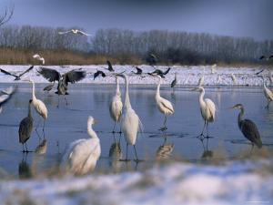 Great Egrets, and Grey Herons, on Frozen Lake, Pusztaszer, Hungary by Bence Mate