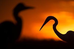 Great White Egret (Ardea Alba) Silhouetted at Sunset, Lake Csaj, Pusztaszer, Hungary, February by Bence Mate