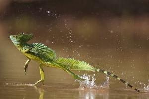 Green - Double-Crested Basilisk (Basiliscus Plumifrons) Running Across Water Surface by Bence Mate