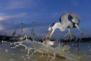 Grey Heron (Ardea Cinerea) Catching Fish, Taken With Remote Camera, Pusztaszer, Hungary, June by Bence Mate