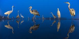Group of Great Egrets (Ardea Alba) Reflected in Still Water-Bence Mate-Photographic Print