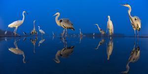 Little Egret (Egretta Garzetta) and Grey Herons (Ardea Cinerea) Reflected in Lake at Twilight by Bence Mate
