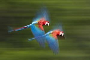 Red And Green Macaws (Ara Chloropterus) In Flight, Motion Blurred Photograph, Buraxo Das Aras by Bence Mate