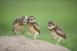 Two Newly Fledged Burrowing Owl Chicks (Athene Cunicularia), Pantanal, Brazil by Bence Mate