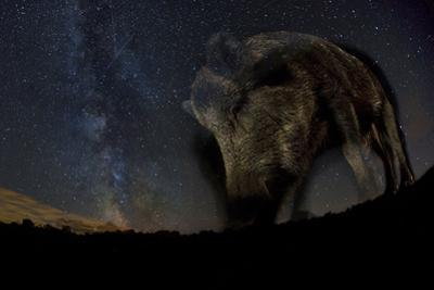 Wild Boar (Sus Scrofa) at Night with the Milky Way in the Background, Gyulaj, Tolna, Hungary by Bence Mate