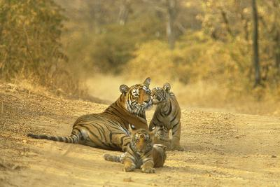 Bengal Indian Tiger Lying on Dirt Track with Cubs--Photographic Print