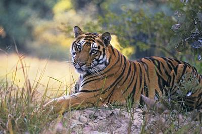 Bengal Indian Tiger Resting on Mound--Photographic Print