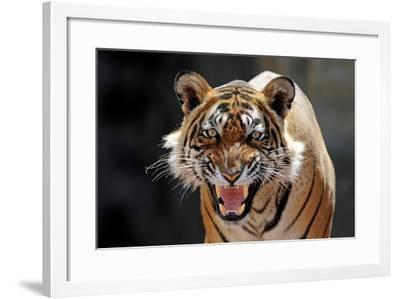 Bengal Indian Tiger Snarling--Framed Photographic Print