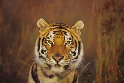 Bengal Indian Tiger--Photographic Print
