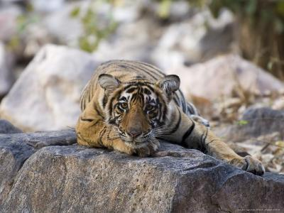 Bengal Tiger, 10 Month Old Cub Lying, India-Mike Powles-Photographic Print