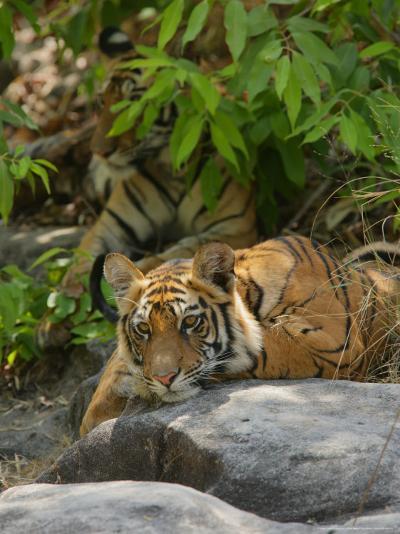 Bengal Tiger, 11 Month Old Cub on Rocks, Madhya Pradesh, India-Elliot Neep-Photographic Print