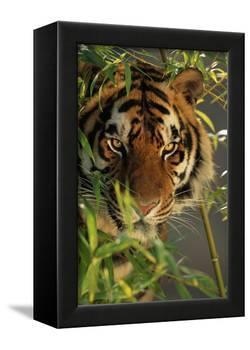 Bengal Tiger behind Bamboo-DLILLC-Framed Premier Image Canvas