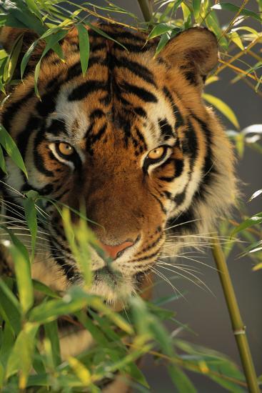 Bengal Tiger behind Bamboo-DLILLC-Photographic Print