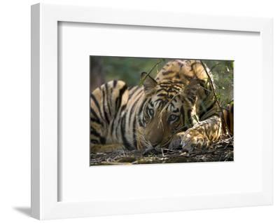 Bengal Tiger, Close-up Profile of Large Male Tiger Laying on Ground, Madhya Pradesh, India-Elliot Neep-Framed Photographic Print