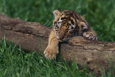 Bengal Tiger Cub Asleep on Fallen Tree-DLILLC-Photographic Print
