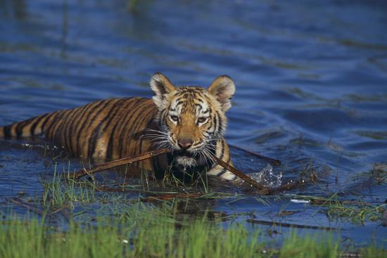 Bengal Tiger Cub in Water-DLILLC-Photographic Print
