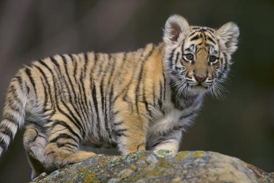 Bengal Tiger Cub on Rocks-DLILLC-Photographic Print