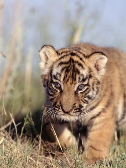 Bengal Tiger Cub, Panthera Tigris-D^ Robert Franz-Photographic Print