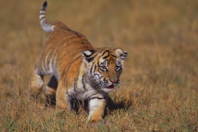 Bengal Tiger Cub Walking in Grass-DLILLC-Photographic Print