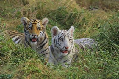 Bengal Tiger Cubs in Grass-DLILLC-Photographic Print