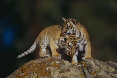 Bengal Tiger Cubs on Rocks-DLILLC-Photographic Print