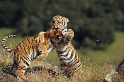 Bengal Tiger Cubs Play-Fighting-DLILLC-Photographic Print