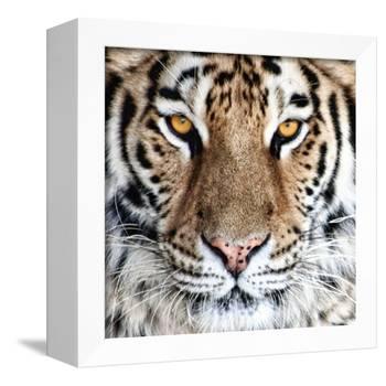 Bengal Tiger Eyes-C^ McNemar-Framed Premier Image Canvas