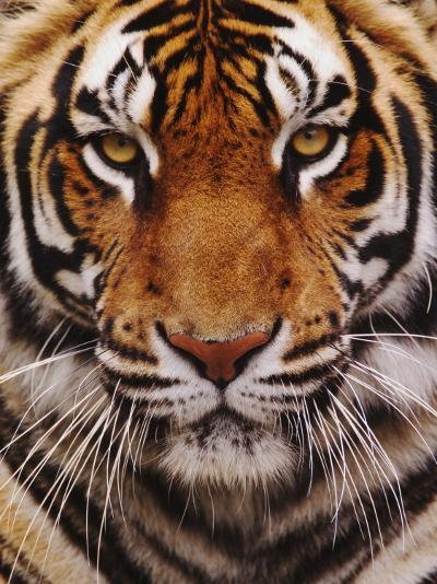Bengal Tiger Face, Panthera Tigris, Asia-Adam Jones-Photographic Print