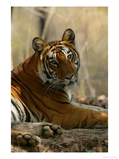 Bengal Tiger, Female Resting, Madhya Pradesh, India-Elliot Neep-Photographic Print