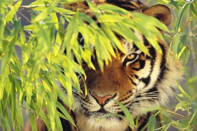 Bengal Tiger Hiding behind Leaves-DLILLC-Photographic Print
