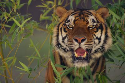 https://imgc.artprintimages.com/img/print/bengal-tiger-in-bamboo_u-l-pzr8wz0.jpg?p=0