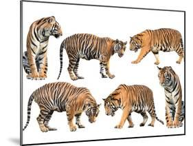 Bengal Tiger Isolated Collection-Anan Kaewkhammul-Mounted Photographic Print